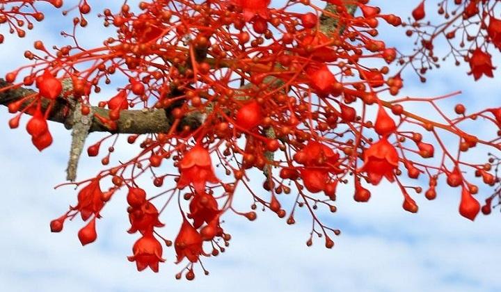 Illawara Flame Tree