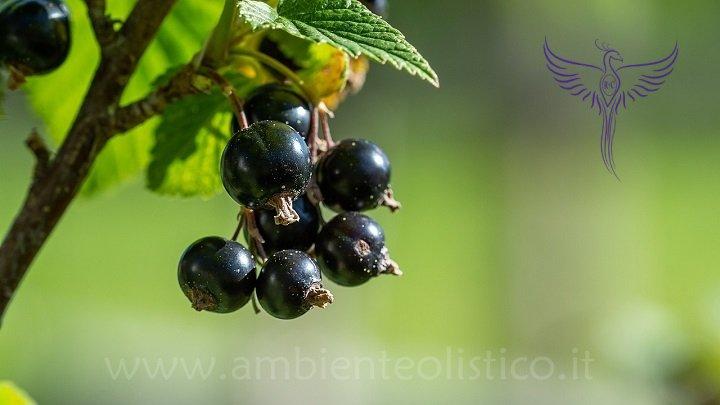 Ribes Nigrum gemme