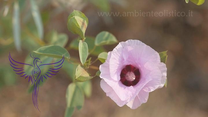 Sturt Desert Rose
