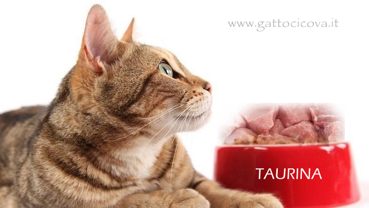 Taurina Gatto